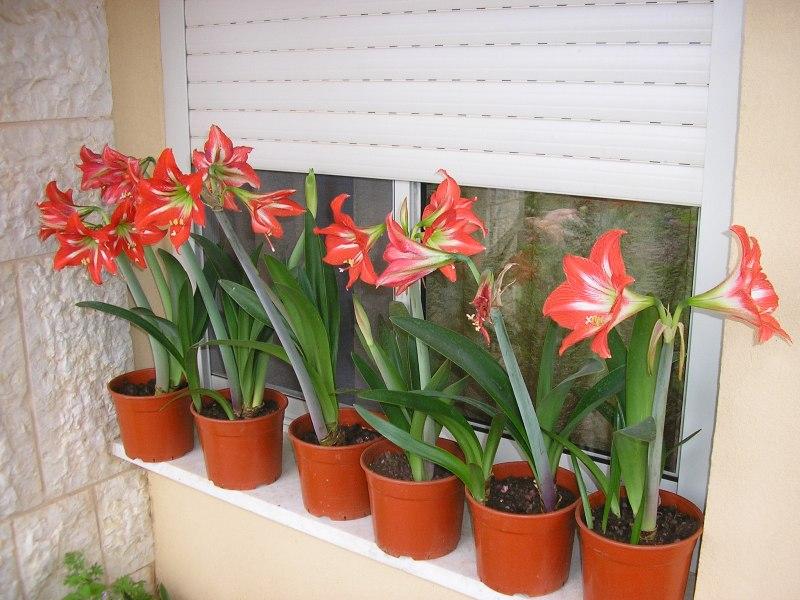 Комнатный цветок амариллис и