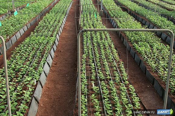Бизнес план по выращиванию клубнику в теплицах 813